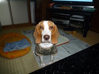 愛犬ビーグル